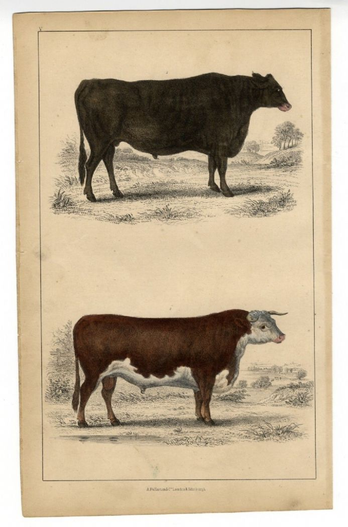 1851 Antique Print CATTLE BREEDS Hereford Bull SUFFOLK OX Hand Colour VICTORIAN